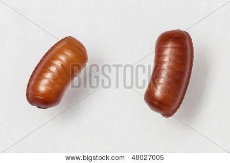 Smooth cockroach - Symploce pallens egg sacks isolated on white poster