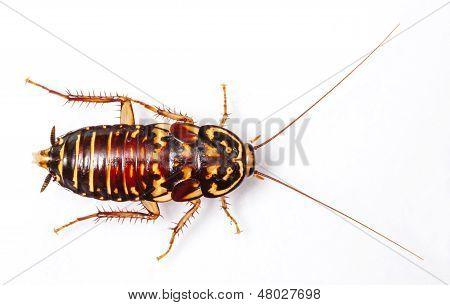 Harlequin Cockroach - Neostylopyga Rhombifolia isolated on white poster