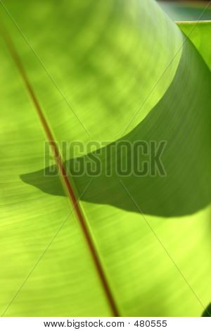 poster of close up of back lit banana leaf with partial shadow of leaf behind it