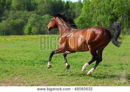 Bay Holstein horse running in the field