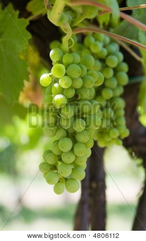 Glowing Green Wine Grapes