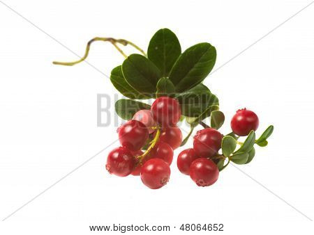 Berry Cowberry