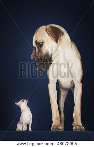 Chihuahua with Great Dane standing alongside against blue background