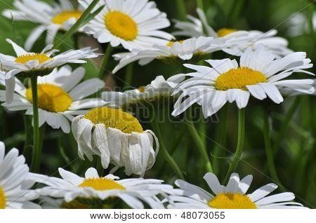 Daisy's in Garden