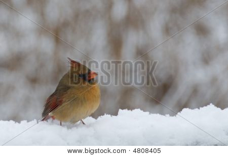 Female cardinal enjoying a sunny Michigan winter day on a snow covered railing. poster