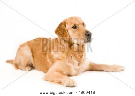 Portrait of a Golden Retriever with White background poster
