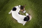 Elevated view of Jack Russell terrier chasing tail view on grass poster