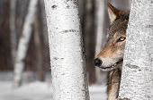 Grey Wolf (Canis lupus) Between Birch Trees - captive animal poster