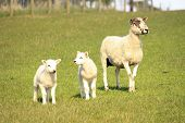 a ewe sheep in a field with her two lambs poster