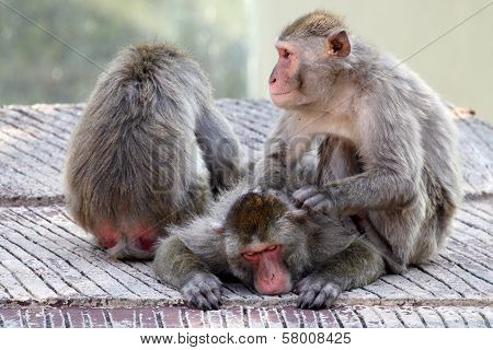 Group Of Japanese Macaques Relaxing