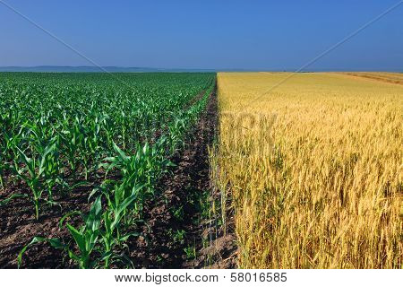 Fields Of Corn And Wheat Next To Each Other
