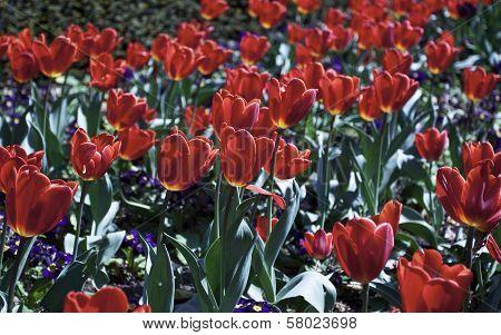 Tulips in botanic park