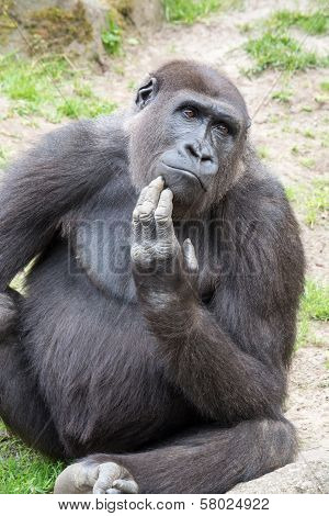 Male Silverback Gorilla, Single Mammal On Grass