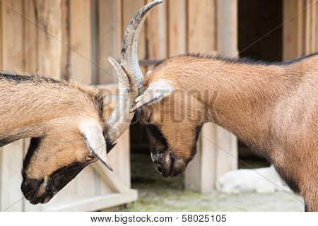 Two Young Goats Play-fight With Their Heads At An Animal Farm