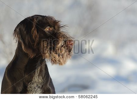 Brown Dog Portrait Against The Snow, Horizontal