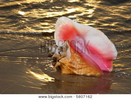 shell or conch