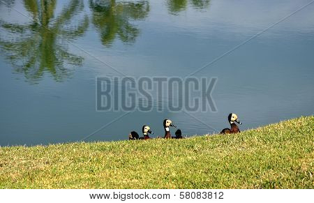 Ducks At A Pond, Inhotim (brazil)