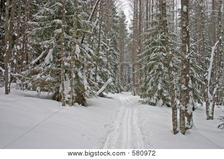 Winter Forest. Ski-track 3