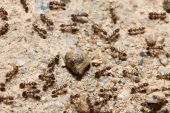 A group of Argentine ants crawling on the ground. poster