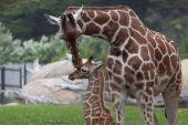 A mother kissing a baby giraffe on the top of the head poster
