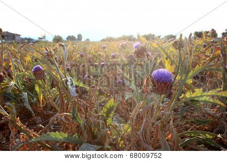 Artichokes Plantation Field