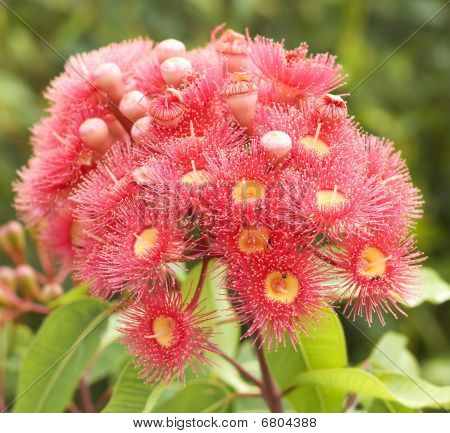 pink red flowers on australian native gum tree - eucalyptus phytocarpa poster