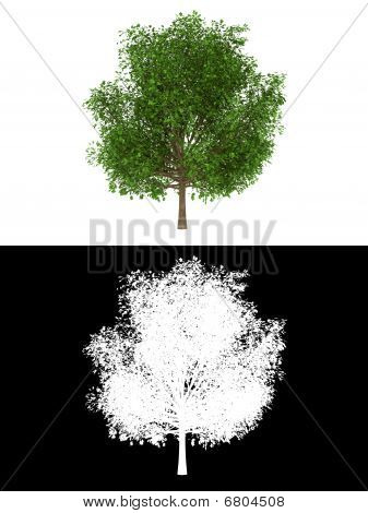 Oak tree isolated with alpha channel