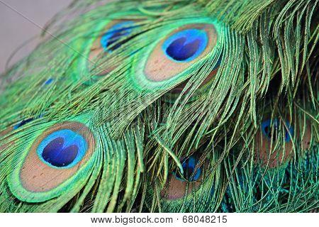 Closeup of tail feathers peacock (Pavo cristatus) poster