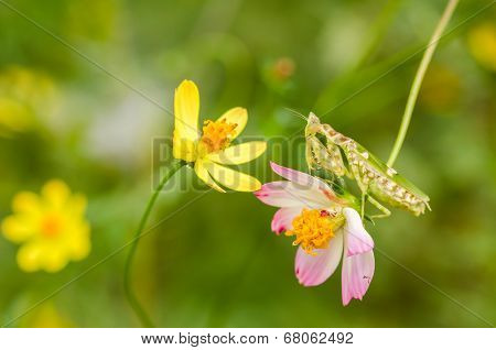 Cosmos Sulphureus Flower And Mantis
