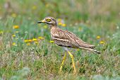 Burhinus oedicnemus (Eurasian Thick-knee, Eurasian Stone-curlew , Stone Curlew ) outdoor poster