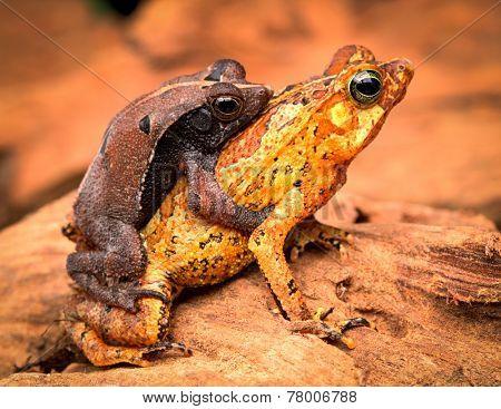 mating tropical toads Rhinella typhonius a small amphibian of the tropical amazon rain forest of Brazil Peru, Bolivia, Ecuador