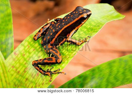 orange striped poison dar frog Ameerega trivittatus a tropical and exotic amphibian from the Amazon rainforest of Peru Brazil Suriname, Guyana and Ecuador