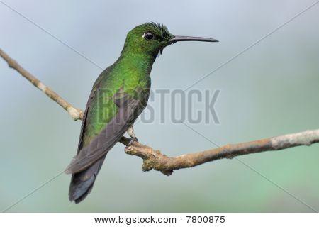 Große Sapphirewing-Kolibri