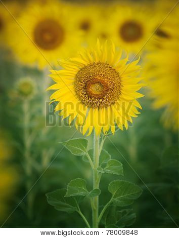 Close Up Single Of Beautiful Sunflowers Petal In Flowers Frild With Copy Space Use As Nature Plant
