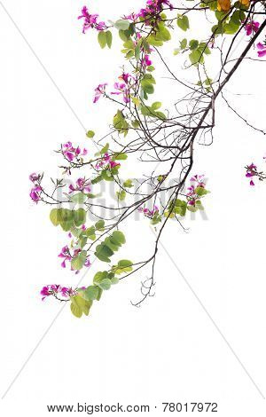 The flowers and green leaves of Bauhinia purpurea on white background,also named purple bauhinia.