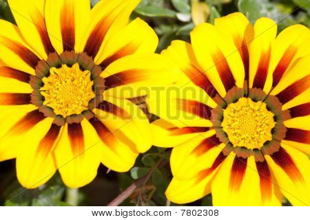 Macro Of Vibrant Flowers (gazenia)