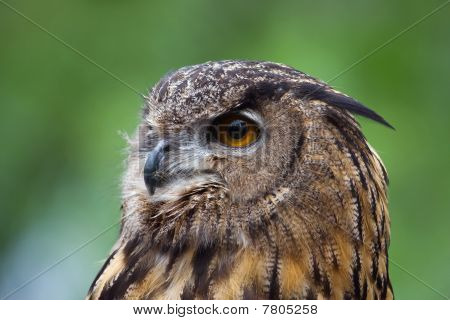 poster of Head shot of a Great Horned Owl.