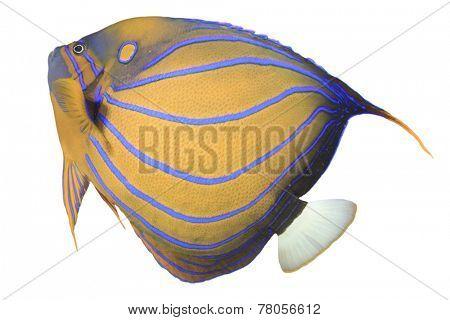 Bluering Angelfish isolated on white background