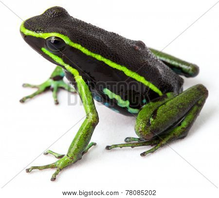 frog Amazon rainforest Peru, poison dart frog amereega trivittatus small tropical amphibian kept in rain forest terrarium