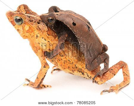 tropical mating toads, Rhinella typhonius a small frog from the Amazon Rain forest of Brazil, Bolivia, Peru and Ecuador