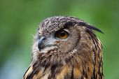 Head shot of a Great Horned Owl. poster