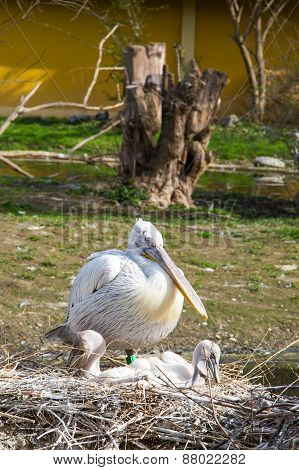 Eastern white pelican with two babies in the nest