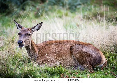 Hind Or The Female Red Deer In The Wild