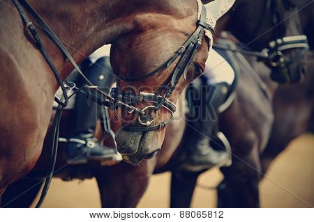 Sports horses in ammunition before competitions. Portrait of a sports stallion. Riding on a horse. Thoroughbred horse. poster