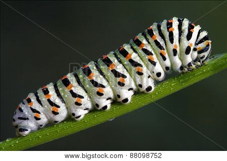 Caterpillar Of Papilionidae In The Fennel