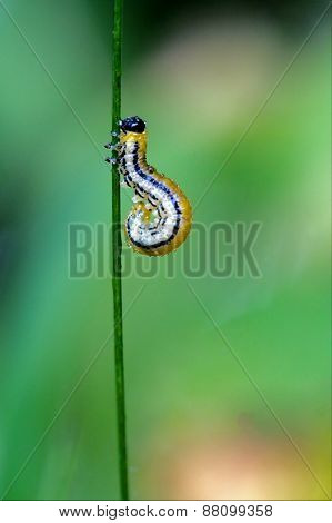 Curved Yellow Caterpillar