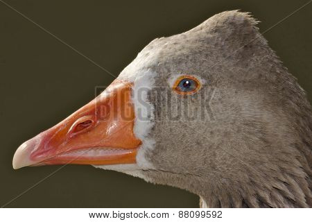 Brown And Grey Duck