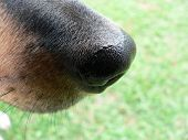 this close up image of a dogs nose is of a fox terrier cross dog poster