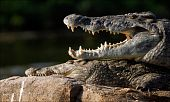 The Nile crocodile lies on a stone and from a heat has widely opened a mouth, showing huge teeth. poster
