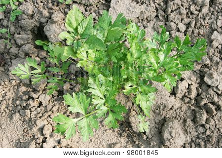 Root parsley